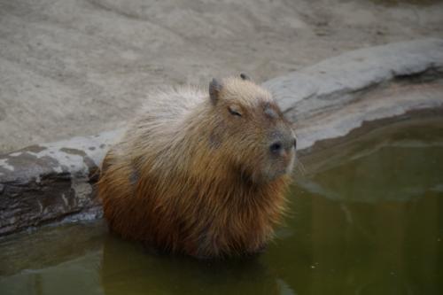 24kapibara.jpg