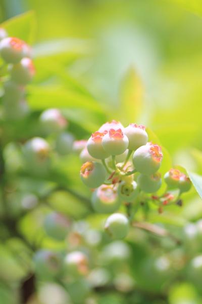 uchino blueberry (3)