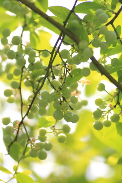 uchino blueberry (2)