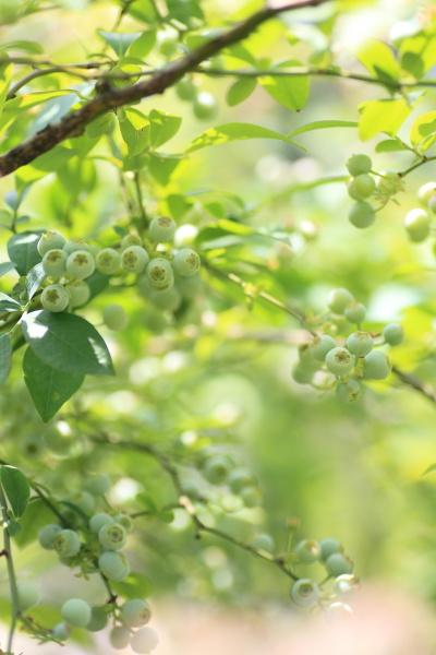 uchino blueberry (1)