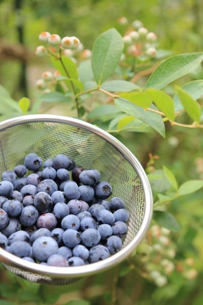 blueberry shuukaku (3)
