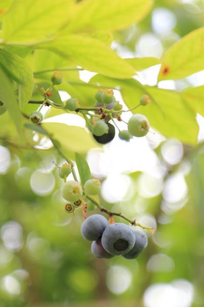 blueberry shuukaku (1)