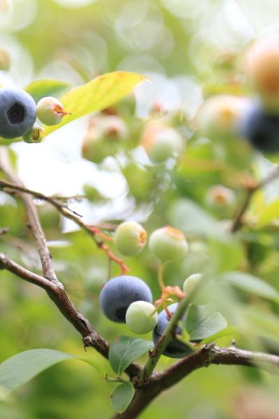 blueberry shuukaku (2)
