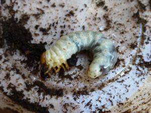 コクワガタ セミ化幼虫