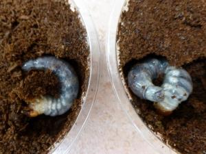 パプキン 幼虫