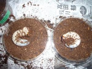 コーカサス 幼虫2