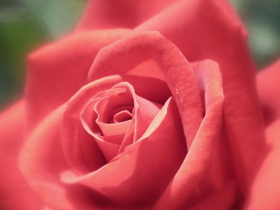 薔薇ー10DSCF2424