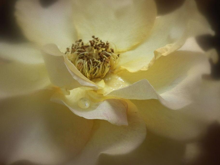 薔薇ー9DSCF2420