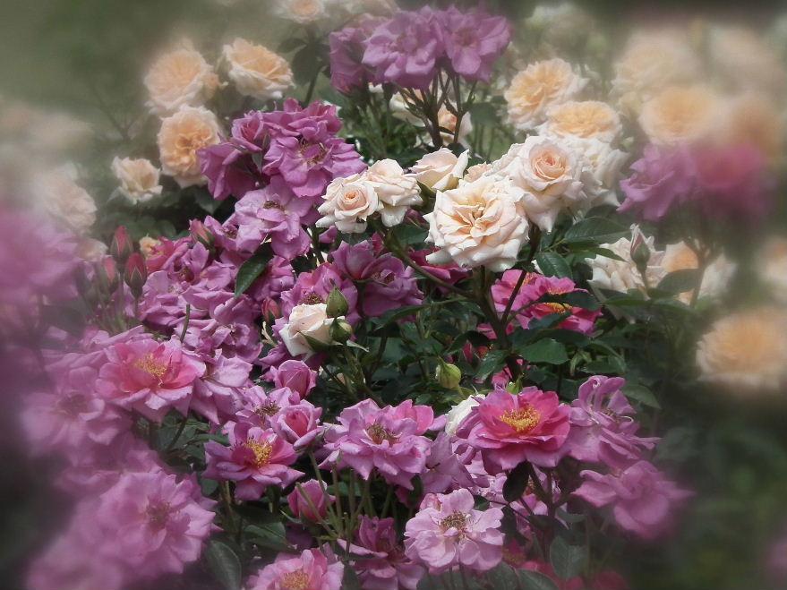 ブログ用薔薇ー4DSCF2381