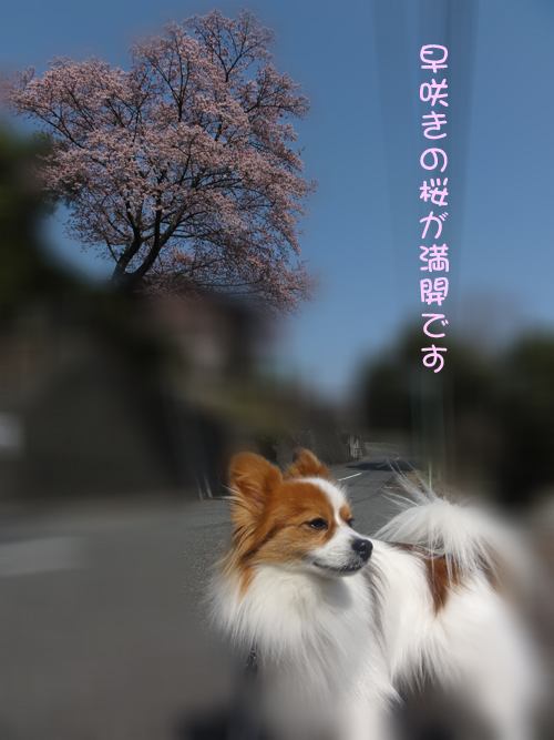 ポカポカ天気で桜満開
