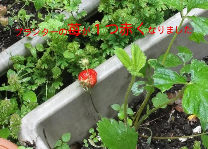 苺が赤くなりました