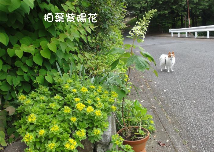 『柏葉紫陽花』が咲いたね