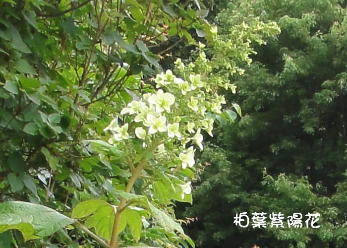 『柏葉紫陽花』(5/29)