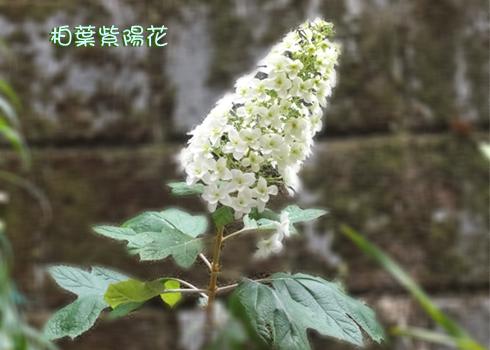 「柏葉紫陽花」