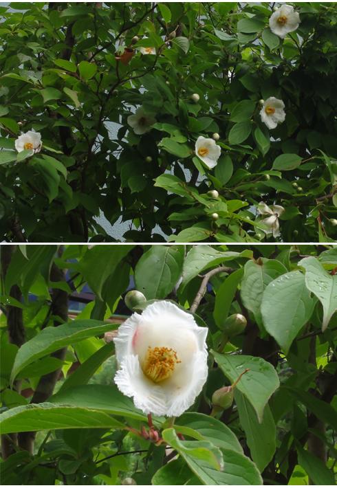 今朝シャラの花が咲いていました 6/15
