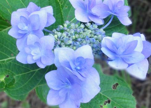 「額紫陽花」