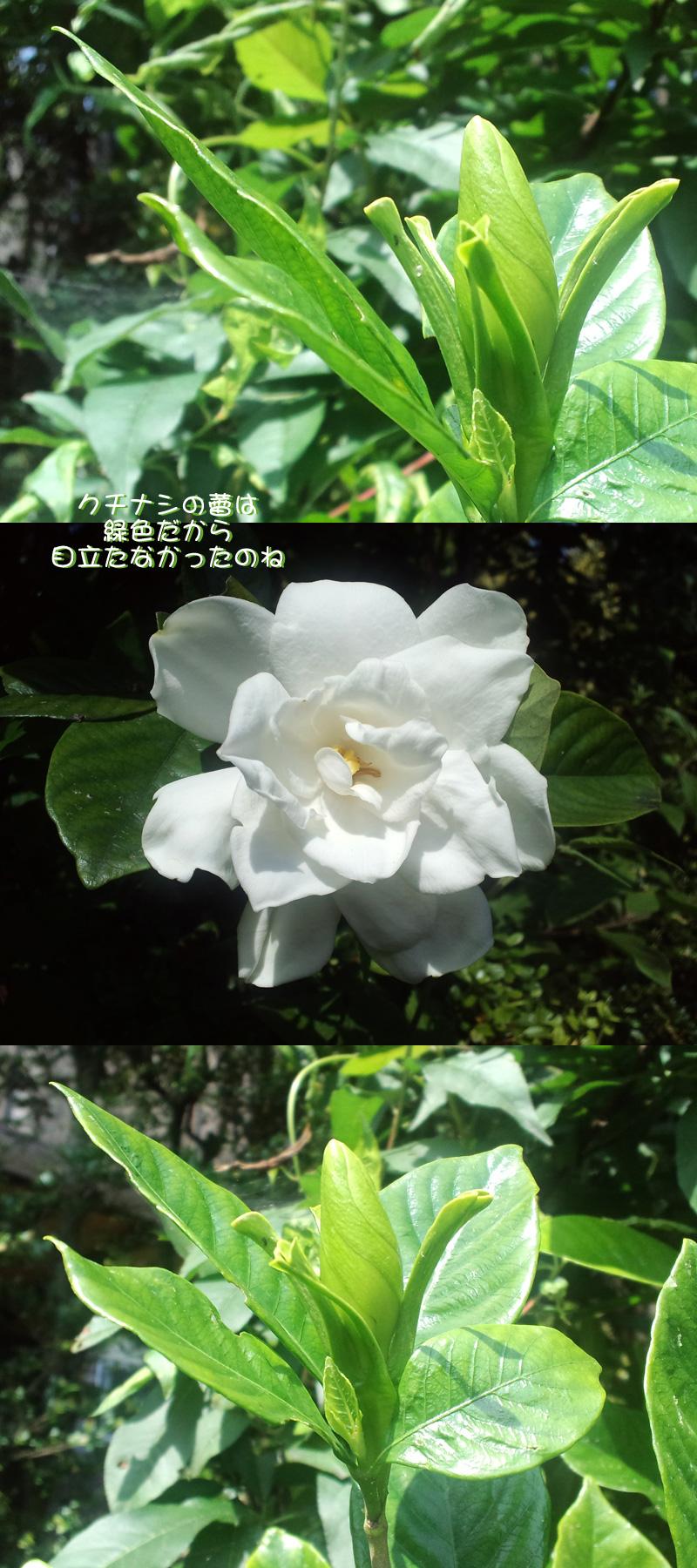 梔子の蕾だよ♪ 6/29