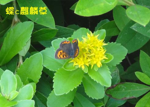 蝶と麒麟草