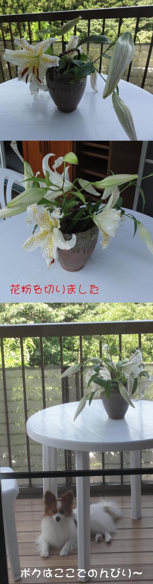 ヤマユリが咲きました