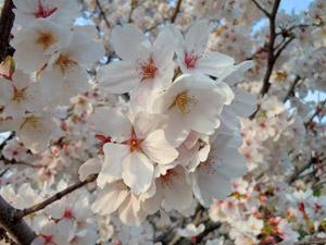 2013年桜