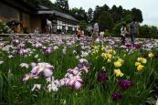 大安禅寺の花菖蒲