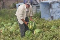 スイカ苗の収穫1
