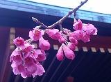 kaihizakura.jpg