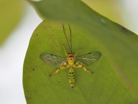 ミノオキイロヒラタヒメバチ2