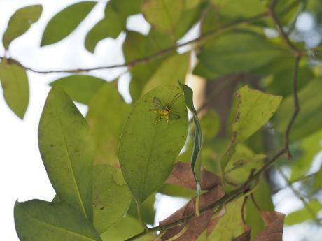 ミノオキイロヒラタヒメバチ