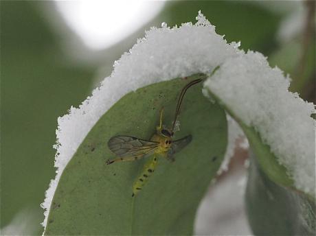 ミノオキイロヒラタヒメバチ3
