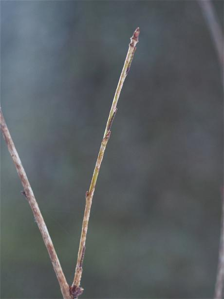 ヒロバツバメアオシャク幼虫か