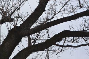 007桜の木
