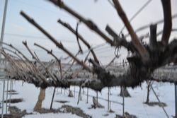 005葡萄の枝