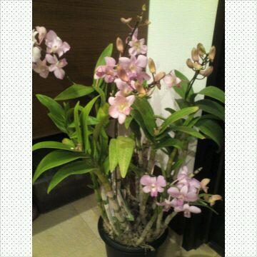 蘭の花、当たりました!٩(。•ω•。)و