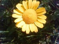 黄色い花01