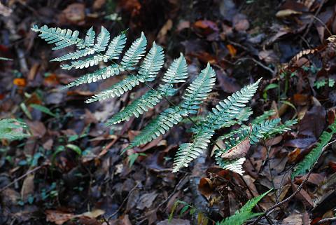 不明なシダ植物1