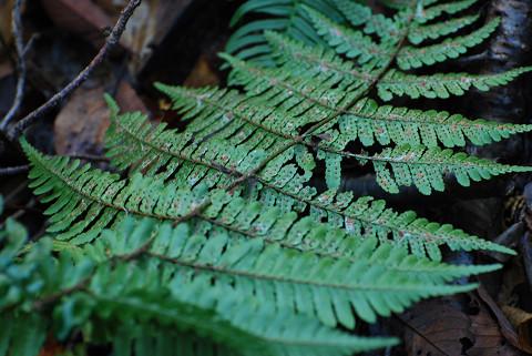 不明なシダ植物2