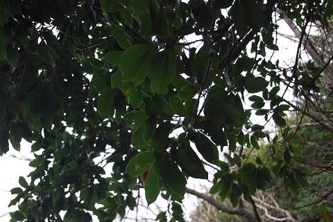アカガシの葉は