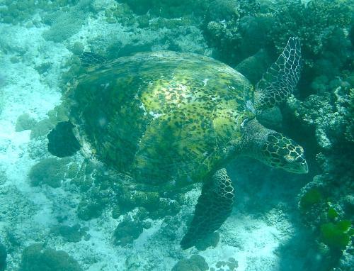 Fregate Turtle