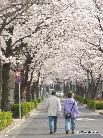 足立区古千谷本町の桜のトンネル