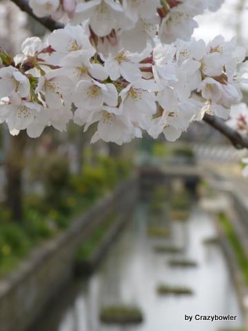 足立区古千谷本町の見沼代親水公園の桜