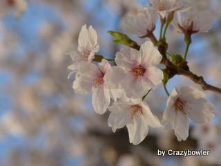 高崎観音山の桜2013