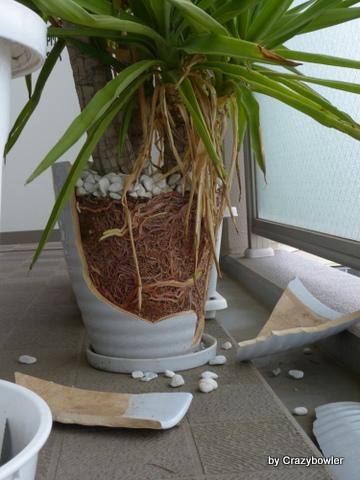 ユッカ植え替え 鉢が割れた!