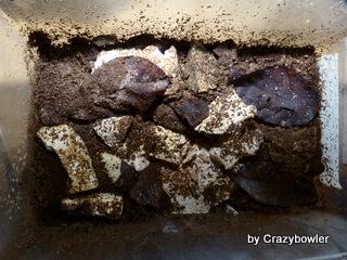 菌床産卵割出 オオクワガタ