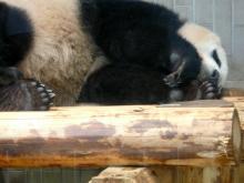 生涯学習!by Crazybowler-上野動物園 ジャイアントパンダ シンシン