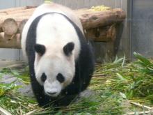 生涯学習!by Crazybowler-上野動物園 ジャイアントパンダ リーリー