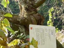 生涯学習!by Crazybowler-石割桜