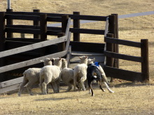 生涯学習!by Crazybowler-グリーン牧場 SheepDogShow