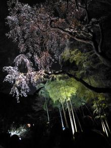 生涯学習!by Crazybowler-六義園 しだれ桜ライトアップ