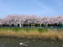 生涯学習!by Crazybowler-日本エイテックス㈱の桜